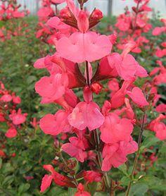 Salvia, Suncrest Flamenco Rose - Salvia at Burpee.com