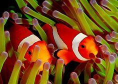 El baile de Nemo: los movimientos del pez payaso ayudan a las anémonas - Dancing Nemo: Clownfish Wiggles Do an Anemone Good