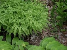Growing And Caring For Maidenhair Ferns - Maidenhair ferns can make graceful additions to shady gardens or bright, indirect areas of the home. Growing maidenhair fern is easy. This article provides tips and information on growing maidenhair fern plants.