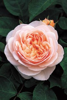 English Roses Sweet Juliet Rose - David Austin - Very Fragrant - Wonderful old-fashioned, cupped blooms of rich clear apricot. The growth is upright but graceful and very robust with good continuity of flower.