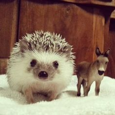#funny #hedgehog