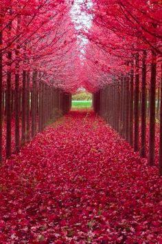 Pathway of trees with red leaves & on ground