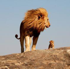 lion and cub - Hledat Googlem
