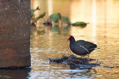 Frango-d'água-comum O frango-d'água-comum é uma ave gruiforme da família Rallidae. Ave aquática das mais comuns em várias partes do Brasil, escasseia na floresta Amazônica e, surpreendentemente, não é muito freqüente no Pantanal. Conhecido também como galinhola (Rio Grande do Sul), jaçanã-galo (Nordeste), peituda (Rio de Janeiro) e galinha-d'água. Antigamente denominado Gallinula chloropus.