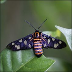velvet moth - India. The most impressive butterflies and moths are not always the biggest.