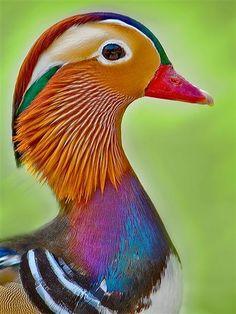 Mandarin Duck Birds, Animals beautiful