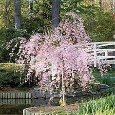 Weeping Cherry Tree < Growing Cherry Trees – Southern Living Source by sxmabernathy Dwarf Trees, Trees And Shrubs, Flowering Trees, Trees To Plant, Fruit Trees, Bonsai Garden, Garden Trees, Garden Plants, Garden Spaces