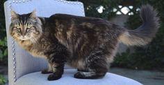 Corduroy, do Oregon (EUA), é o novo gato mais velho do mundo do Guinness World Records. O felino de estimação é o mais velho do mundo, com 26 anos e 13 dias, segundo os funcionários do Guinness World Records