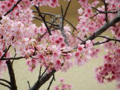 Sakura  Okinawa, Japan