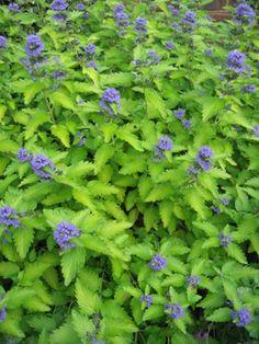 Caryopteris Hint of Gold- Bluebeard.  Ideas for garden beside driveway