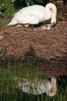 Mute Swan tending to the nest Beautiful Swan, Beautiful Birds, Sea Birds, Love Birds, Swans, Cygnus Olor, Baby Animals, Cute Animals, Trumpeter Swan