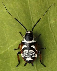 MorgansLists: Images of the Most Beautiful Cockroaches From Around the Internet - insects Beetle Insect, Beetle Bug, Insect Art, Cool Insects, Bugs And Insects, Beautiful Bugs, Most Beautiful, Amazing Nature, Amphibians