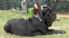 TOP 10 TALLEST DOGS IN THE WORLD