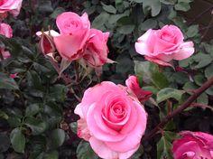 Roses in Mx. R. G.