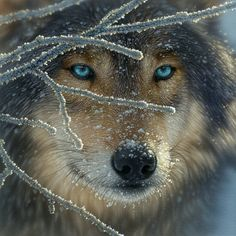 Fire Within Ice - 500pc Jigsaw Puzzle // Isn't this wolf stunning!? #winter #nature http://www.seriouspuzzles.com/i14518.asp
