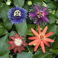 Everblooming Passion Flower Collection III