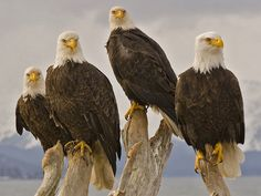 White headed Eagles. Another Magnificent Creation Of God!