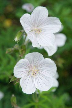 Geranium clarkei 'Kashmir White',                                                                                                                                                                                 More