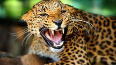 پلنگ گربه وحشی leopard hd wallpaper