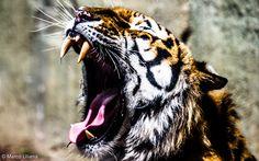 https://flic.kr/p/H7SWtG   Acquolina   Tigre spalanca la bocca affamata