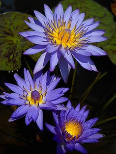 Lotus Flowers & Water Lilies >>> Click the link to visit my board… Exotic Flowers, Beautiful Flowers, Lotus Flowers, Lotus Azul, Blue Lotus, Lotus Flower Pictures, Bog Plants, Rare Orchids, Blue Daisy