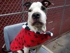 TO BE DESTROYED 3/29/14 Manhattan Center -P  My name is JAZMINE. My Animal ID # is A0994742. I am a female white and br brindle pit bull mix. The shelter thinks I am about 2 YEARS   I came in the shelter as a STRAY on 03/24/2014 from NY 11213, owner surrender reason stated was STRAY. https://www.facebook.com/photo.php?fbid=777927328886815&set=a.611290788883804.1073741851.152876678058553&type=3&theater