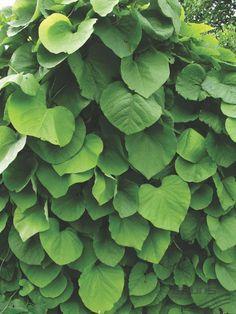 ARISTOLOCHIA macrophylla LAM., Аристолохия крупнолистная | Pflanzen | null…