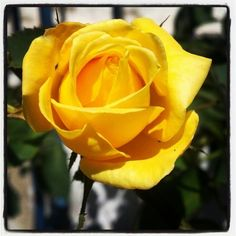 Een Prachtige Gele Roos als vriendschap