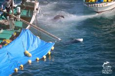 Bodies of dead Risso's dolphins float in the water, Taiji, Japan
