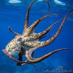 Photo by © Day Octopus (Octopus Cyanea), Hawaii. Underwater Animals, Underwater Creatures, Underwater Life, Octopus Photography, Animal Photography, Beautiful Sea Creatures, Animals Beautiful, Kraken, Octopus Art