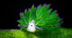 Sea Sheep? This Adorable Sea Slug Eats So Much Algae It Can Photosynthesize | Bored Panda