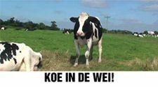 Koe in de wei! Koeien zitten het hele jaar door in potdichte stallen. Jij kan dat stoppen: op 12 september. https://www.partijvoordedieren.nl/video?v=AOfkggtKMEk