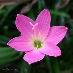 Lili Hujan flower