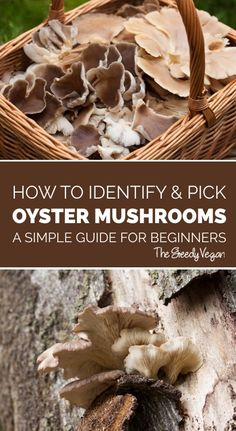A guide for identifying and picking oyster mushrooms. Edible Wild Mushrooms, Garden Mushrooms, Stuffed Mushrooms, Oyster Mushroom Recipe, Mushroom Guide, Mushroom Plant, Mushroom Identification, Growing Mushrooms At Home, Mushroom Cultivation