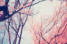 petalos de cerezo