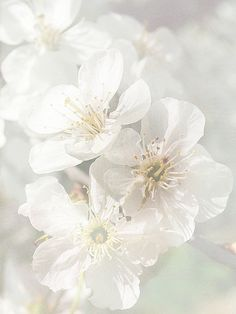 SPRING ✧ Apple blossoms
