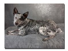 Need Help Herding Your Children?- Adoptable Pet - PLEASE SHARE THIS PIN - Gracie is a beautiful Blue Heeler mix who's heavy on the Heeler. She's very loving and friendly, and when she's around groups of people or dogs, her herding instinct is very apparent! To find out more information, please contact Highland Lakes SPCA at (830)693-0569. A $ 135 adoption fee includes shots, heartworm preventative treatment, spay/neuter and microchip