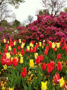 Azaleas and tuips! I love spring!