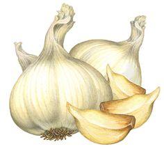 vintage garlic illestrations | Onion & Garlic Stock Art - Douglas Schneider Illustration