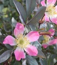Punalehtiruusu - Rosa glauca
