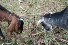 A day in the life of Tom Kendall - PermEco Inc. Permaculture, Kendall, Goats, Day, Life, Ken Doll, Goat