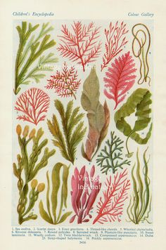 Vintage Botanical Print Antique BRITISH SEAWEED, plant print botanical print, bookplate art print, sea plants plant wall print wall art. $10.50, via Etsy.