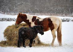 Chevaux sous la neige en