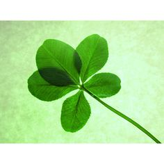 Macro Lucky Green Five Leaf Clover with Green Background Wall Art... (54 ILS) ❤ liked on Polyvore featuring home, home decor, wall art, photographic wall art, photography wall art, green home decor, green home accessories and leaves wall art
