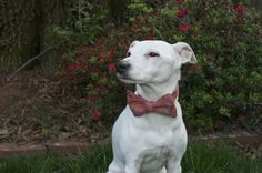 "Jack ""The Dog"" wearing one of our spring rayon bow ties.  <------What a distinguished looking canine. Perhaps we should get Sugar a bow tie? @Carolina Cotton Bow Ties - does this tie come in hot pink?"