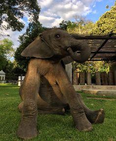 Moyo's naughty face. Rescued elephant at Wild is Life & ZEN (Zimbabwe Elephant Nursery) founded by Roxy Danckwerts. Animal sanctuary / orphan baby elephant.