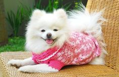 dog's clothe Chihuahua Clothes, Cute Dog Clothes, Princess Puppies, Dog Wedding Dress, Crochet Dog Sweater, Pomeranian Puppy, Teacup Chihuahua, White Pomeranian, Chihuahua Puppies