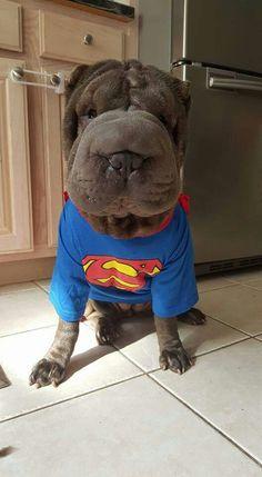 Super man super sharpei puppy