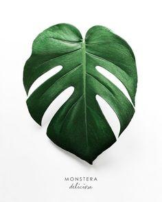 """Результат пошуку зображень за запитом """"monstera poster"""""""
