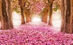 beautiful 20 Amazing Beautiful Tree Tunnels Landscapes Nature will always impress us, what is more beautiful than being in a tunnel of greenery! We have selected for you 20 amazing beautiful tree tunnels t. Cherry Blossom Tree, Pink Blossom, Blossom Trees, Flower Blossom, Flower Tree, Cherry Tree, Flower Petals, Frühling Wallpaper, Nature Wallpaper